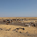 Cattle of somali people  in a dry field, Afar Region, Gewane, Ethiopia