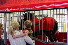 IMG_0565 (AndersonCounty,SC) Tags: plugintoanderson andersonsc budweiser clydesdales