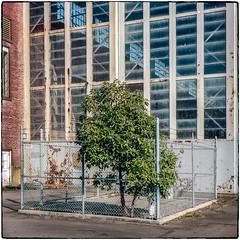 Fenced Tree (NoJuan) Tags: film filmshooter ikonta zeiss zeissikon zeissikonta ikonta52116 square squareformat 120rollfilm 120film portra160 kodakportra160 kodakfilm seattlewa washingtonstate mediumformat mediumformatfolder foldingmediumformat 6x6 214square fence