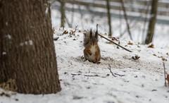 Squirrel (PetuPictures) Tags: finland visitfinland visitnature nature naturephotography photo photography pentax sigma k5 europe wildlife wild life winter snow animals animal cute little