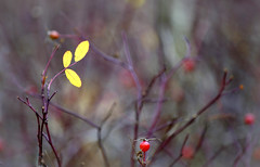 The last leaf (ElaR.) Tags: nature plants forest forestplants branches leaf leaves autumn hawthorn autumnleaves yellow yellowleaves naturefantasy naturecomposition naturebeauty nikon outdoor outside trees tree treetwig