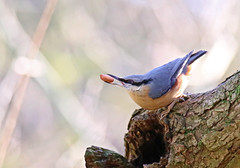 Nuthatch - Michael Bird (Michael R Bird) Tags: nuthatch peanut orange blue trees post rufford countrypark nottingham nottinghamshire lakes bokeh canon 6d g2 sp tamron 150600mm
