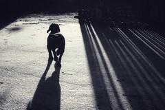 Walking Cooper (jamiematthias1) Tags: dog walking actonpark wrexham wales blackandwhite shadow animal pet sprocker road lines abstract sun early lowsun