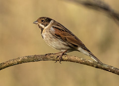 Reed Bunting - Male (forpus1) Tags: reed bunting
