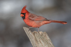 Northern Cardinal (Joe Branco) Tags: grass tree ontario canada branco joe joebrancophotographer wildlifephotographer nature nikon northerncardinal green