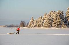Joensuu - Finland (Sami Niemeläinen (instagram: santtujns)) Tags: joensuu suomi finland pohjoiskarjala north carelia karelia kuhasalo lake järvi frozen sunset auringinlasku talvi winter luonto nature metsä forest puu tree fisher kalastaja