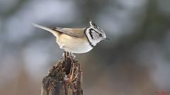 Kuifmees - European Crested Tit (Wim Boon Fotografie) Tags: bird wimboon nederland netherlands natuur nature holland kuifmees winter winterlicht sneeuw snow canon7d canonef400mmf56lusm