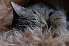 Sleepy head (HonleyA) Tags: cat kitten tabby fuji fujifilm xpro2