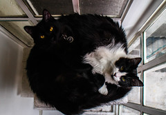 Kittie Cat Ying Yang (SuperG82) Tags: cats kittens yingyang animals cute cuddle