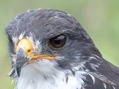 Augur Buzzard up close. (Ted Smith 574) Tags: augur buzzard