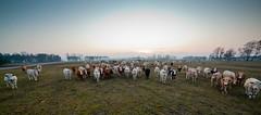 MårtenSvensson_028_IMG_4888 (Bad-Duck) Tags: husdjur jordbruk köttko bete betesmark ko kor kväll köttras natt vinter