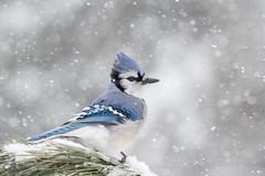 ''La dame en bleu!'' Geai bleu-Blue jay (pascaleforest) Tags: bird oiseau animal passion nikon nature winter hiver snow neige tempête québec canada wild wildlife faune