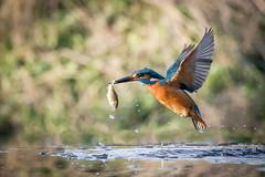 Kingfisher With Catch (Glenn.B) Tags: avian bird kingfisher nature water wildlife