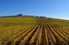 Podernovi 1 (antonella galardi) Tags: toscana siena 2018 autunno chianti gaiole podernovi brolio vigna vino wine
