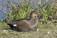 Gadwall (Anas strepera) 1 110618 (evimeyer) Tags: gadwall anasstrepera sanjoaquinwildlifesanctuary wildlifephotography
