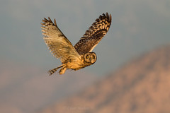 Nuco/ Short-eared Owl (Asio flammeus) (Nigoki) Tags: asioflammeus nuco asio shortearedowl owl chileanbirds avesdechile buhocampestre