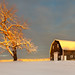 Tree Of Gold And Barn