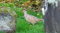Autumnal Boneyard 03 (byronv2) Tags: scotland campsies campsiehills hills bird wildlife graveyard cemetery boneyard history gothic campsieglen pheasant nature
