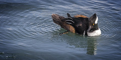 Hooded Merganser 2018 (John Hoadley) Tags: hoodedmerganser niagarafalls ontario 2018 february bird canon 7dmarkii 100400ii f63 iso400