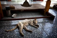 A Cat At A Burmese Temple, Mandalay (El-Branden Brazil) Tags: myanmar burma burmese monks buddhism buddhist southeastasia asian asia mandalay temple buddha cat