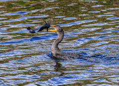Lunch time (Mike_FL) Tags: lunchtime evergladesnationalpark florida nikond7500 nature wildlife bird outdor