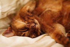 Lizzie wakes up (DizzieMizzieLizzie) Tags: abyssinian aby lizzie dizziemizzielizzie portrait cat feline gato gatto katt katze kot meow pisica sony neko gatos chat fe ilce 2018 ilce7m3 a7iii pose classic pet golden bokeh dof animal zeiss planar t f14 50mm za
