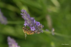 Activity on the lavender bush #2 (Petera3015) Tags: flowers lavevder honeybee rotorua newzealand