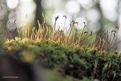 mosje (wimrozenberg) Tags: mosje natuur zon herfst