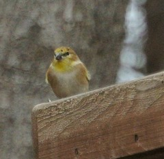 finch at grant park (primpenny1) Tags: finch bird wildlife