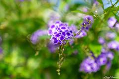 Pretty Purple Flowers (edzwa) Tags: sydney newsouthwales australia au sony 247028 sony2470f28gm f28 bokeh bokehlicious close purpleflowers flowers flower