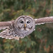 Chouette rayée - Barred Owl - Strix varia (Suzanne Houle) Tags: chouetterayée barredowl
