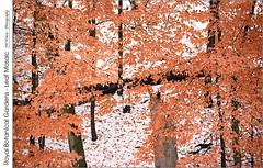 Royal Botanical Gardens Leaf Mosaic (jwvraets) Tags: landscape trees trunks forest autumn leaves brown snow snowfall mosaic hamilton princesspoint cootesparadise royalbotanicalgardens rbg conservationarea winter opensource gimp nikon d7100 afpdxnikkor70300mm14563