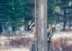 Excuse me, I did not authorize any portraits today! (Fire Fighter's Wife) Tags: fencefriday happyfencefriday hff squirrel redsquirrel winter snow snowy animal nature november woods forest camp fujinonxf1855mmf284rlmois fujifilm 1855mmf2840 bokeh bokehlicious brrr thanksgiving color colorpop cold tistheseason furry fuzzy cute small critter creature fujifilmxt20