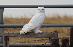 Snowy Owl  5166 (robenglish64) Tags: snowyowl