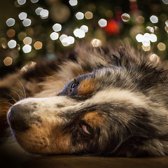 Happy holiday season from a lazy pooch (Browtine1) Tags: dog portrait aussie australian shepherd christmas holiday bokeh pet canon nifty fifty