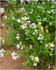 Rain soaked Sea Rocket (Julie (thanks for 8 million views)) Tags: searocket cakilemaritima 100flowers2018 wexford wildflower flora edible beach coastal bokeh