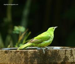 IMG_3688 Jerdon's Leafbird (Chloropsis jerdoni) (vlupadya) Tags: greatnature animal bird aves fauna indianbirds jerdons leafbird chloropsis kundapura karnataka