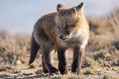 Laying down on the Job (Dan King Alaskan Photography) Tags: redfox fox vulpesvulpes foxkit kit wildlife protectwildlife northslope alaska canon80d sigma150600mm