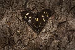 Cruria synopla (dustaway) Tags: arthropoda insecta lepidoptera erebidae agaristinae cruriasynopla australianmoths australianinsects tamborinemountain queensland australia