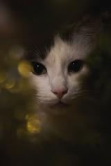 Christmas (Niina Susanna Photography) Tags: christmas cat feline domestic animal animals bokeh light lighting tree closeup macro finland finnish niina susanna photography cute