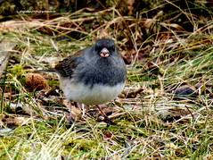 DSCN6525 Dark-eyed Junco (Junco hyemalis) (vlupadya) Tags: greatnature fauna animal bird aves darkeyed junco baskingridge newjersey usa
