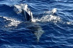 DSC_0590 (mactography) Tags: dolphin breach costa adeje mammal sea tenerife