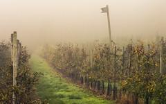 Apple Orchard (Netsrak) Tags: baum bäume eifel europa europe forst herbst landschaft natur nebel rheinland rhineland wald autumn fall fog forest landscape mist nature tree trees woods