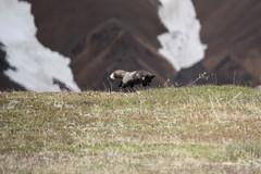 Arctic Fox Hunt (Jane Inman Stormer) Tags: arcticfox fox darkphase june field hunt leap pounce action wild bustour alaska denalinationalpark mountain snow
