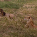 Lions resting while observing their dinner