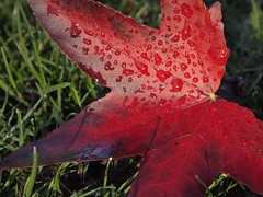 Fallen Leaf (cycle.nut66) Tags: red lreaf fallen wet water droplets grass ground maple olympus epl1 evolt micro four thirds