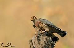 100256192 (TARIQ HAMEED SULEMANI) Tags: sulemani tariq tourism trekking tariqhameedsulemani winter wildlife wild birds nature nikon