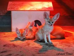 Famille Fennec (François Tomasi) Tags: fennec animal françoistomasi lapalmyre zoodelapalmyre yahoo google flickr