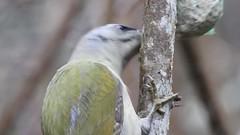 Grey-headed Woodpecker ♂ (Picus canus) (eerokiuru) Tags: greyheadedwoodpecker picuscanus grauspecht hallpearähn woodpecker bird birdvideo p900 nikoncoolpixp900