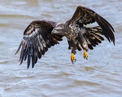 Scooter the Vicious (Jerry_a) Tags: birds eagle eagles baldeagle raptor birdinflight birdsofprey conowingodam canon1dxmarkii wildlife canon600mmf4isusmii wildlifecanon600mmf4 maryland